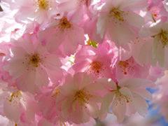 https://rita.xyz/blog/pixabay/japanese-cherry-trees-6344-w240-gz.jpg